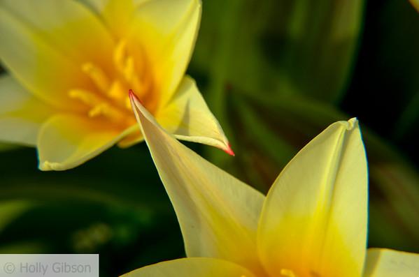 Star tulips - 91
