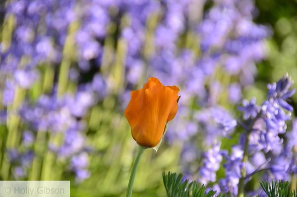 Orange tulip and purple haze - 88