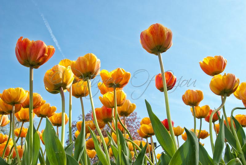 Cretaceous tulips