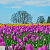 Wooden Shoe Tulip Farm - Tulip Festival - Woodburn, Oregon - 119