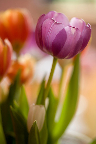 Tulips are native to the temperate regions of Europe and Asia. They have been extensively hybridized and are thus available in the full spectrum of colours and in a range of shapes.