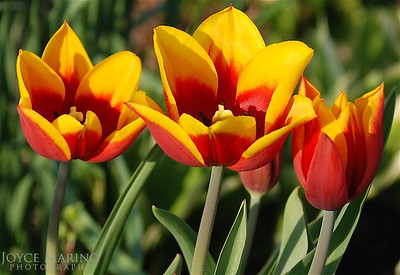 Brilliant red and yellow tulips -- DSC_0118