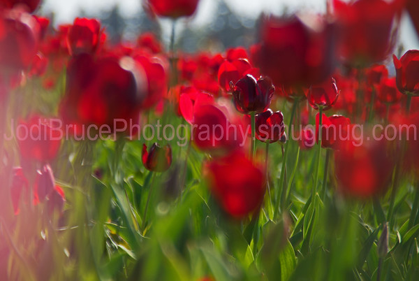 Oregon-Flower-Tulip2b