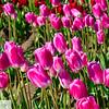 Woodburn Tulip Festival - Wooden Shoe Tulip Farm