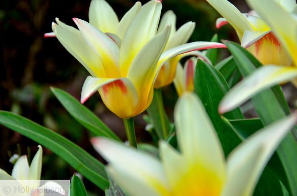 Star tulips - 93
