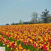 Wooden Shoe Tulip Farm - Tulip Festival - Woodburn, Oregon - 110