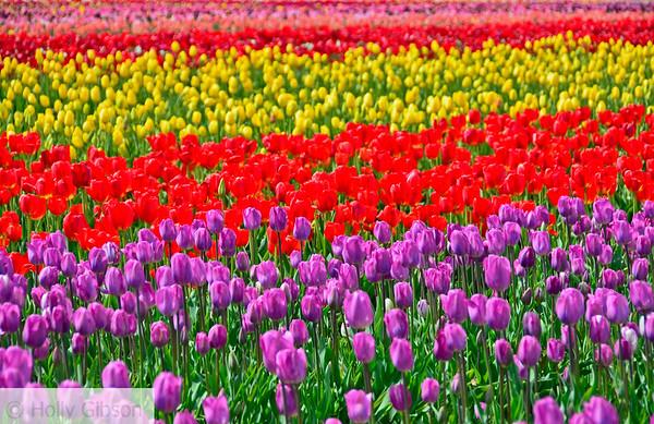Wooden Shoe Tulip Farm - Tulip Festival - Woodburn, Oregon - 116