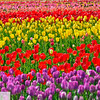 Wooden Shoe Tulip Farm - Tulip Festival - Woodburn, Oregon - 121