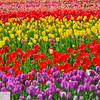 Wooden Shoe Tulip Farm - Tulip Festival - Woodburn, Oregon - 121