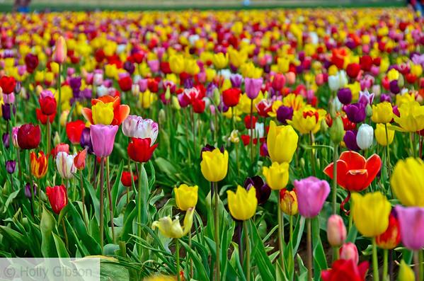 Wooden Shoe Tulip Farm - Tulip Festival - Woodburn, Oregon - 99