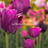 Purple Tulips!