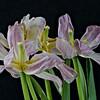 Senescent Tulips