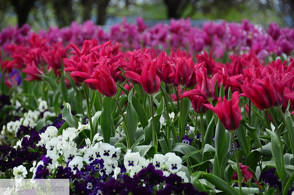 Pink tulips and pansies - 76