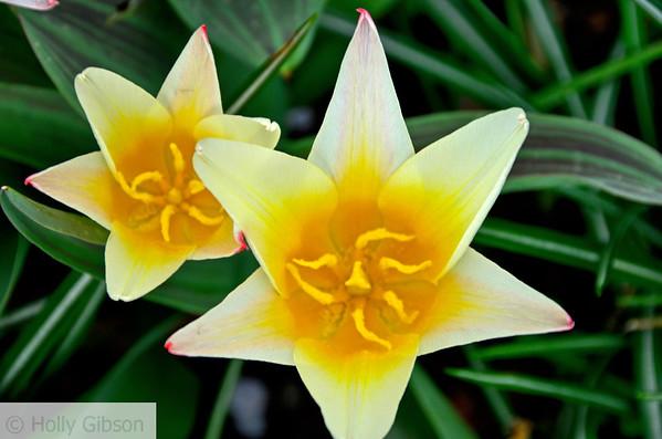 Starr tulips - 94