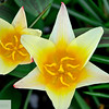 Starr tulips
