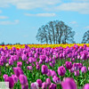 Wooden Shoe Tulip Farm - Tulip Festival - Woodburn, Oregon - 120