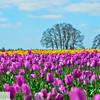 Wooden Shoe Tulip Farm - Tulip Festival - Woodburn, Oregon - 120