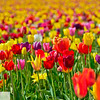 Wooden Shoe Tulip Farm - Tulip Festival - Woodburn, Oregon