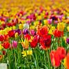 Wooden Shoe Tulip Farm - Tulip Festival - Woodburn, Oregon - 106