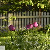 Pink tulips in front of fence - 87