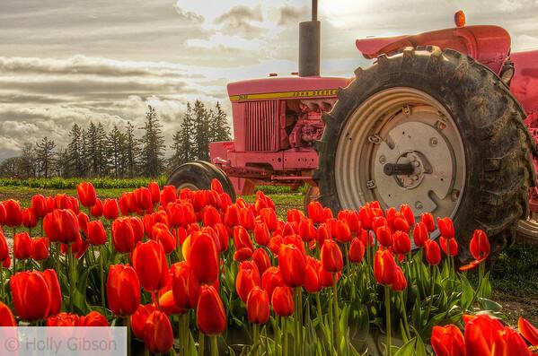 Tulip fields near Woodburn, Oregon - 130