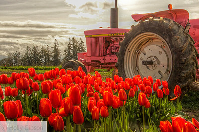 Tulip fields near Woodburn, Oregon
