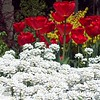 Red Tulips and Candy Tuft - 20
