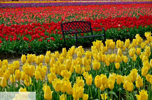 Wooden Shoe Tulip Farm - Tulip Festival - Woodburn, Oregon - 111