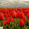 Tulip fields near Woodburn, Oregon - 131