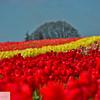 Wooden Shoe Tulip Farm - Tulip Festival - Woodburn, Oregon - 114