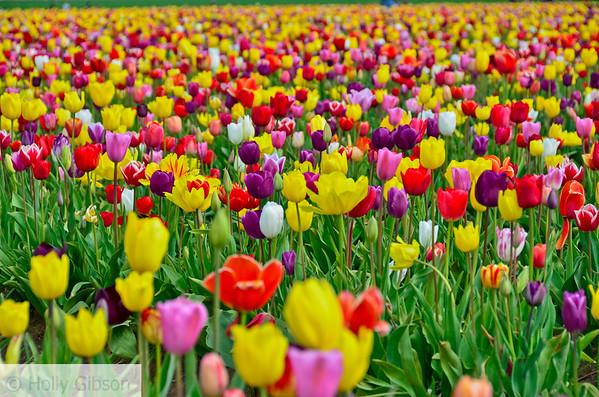 Wooden Shoe Tulip Farm - Tulip Festival - Woodburn, Oregon - 100