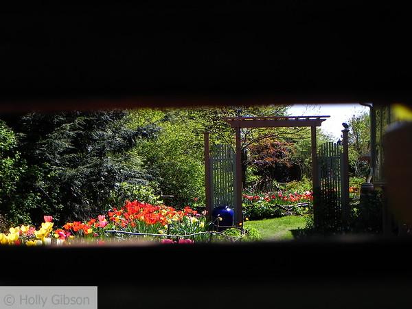 Tulip garden through fence - 56