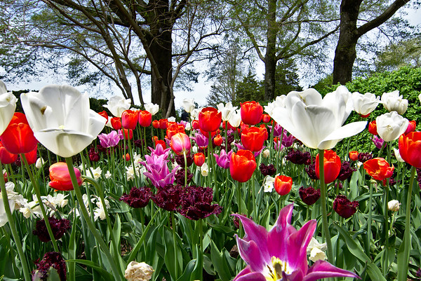 Tulips, tulips, and more tulips