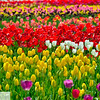 Wooden Shoe Tulip Farm - Tulip Festival - Woodburn, Oregon - 123