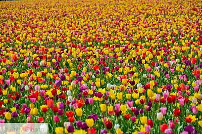 Wooden Shoe Tulip Farm - Tulip Festival - Woodburn, Oregon