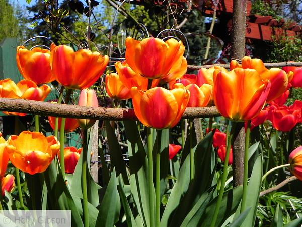 Orange tulips - 34