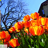 Glowing orange tulips and farmhouse - 51