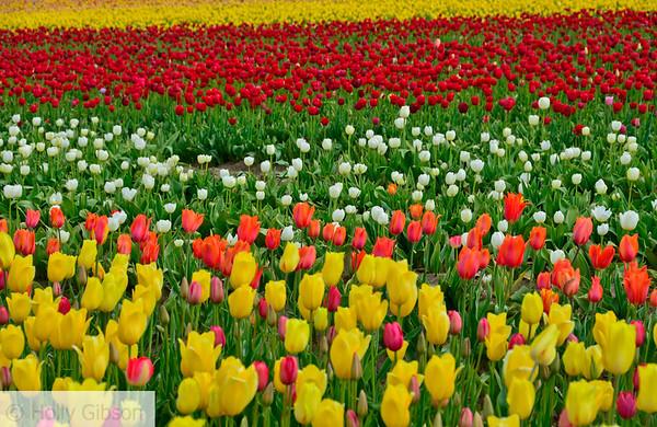 Wooden Shoe Tulip Farm - Tulip Festival - Woodburn, Oregon - 98