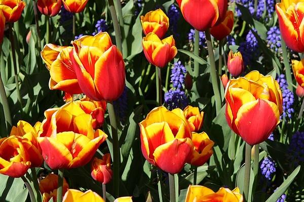 Tulips2006_0004