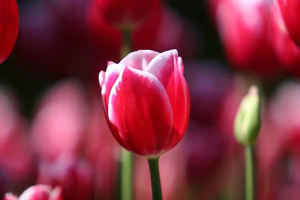 Tulips2006_0008