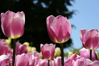 Tulips2006_0023