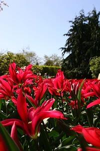 Tulips2006_0030