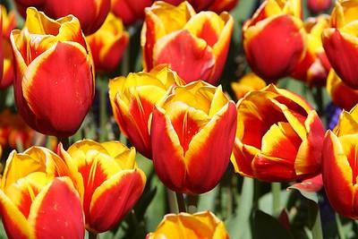 Tulips2006_0005