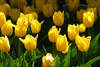 Tulips2006_0020
