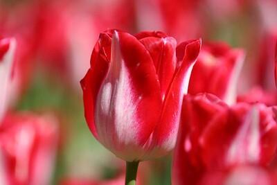Tulips2006_0018