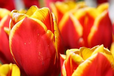 Tulips2006_0007