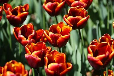 Tulips2006_0012