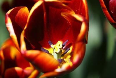 Tulips2006_0016