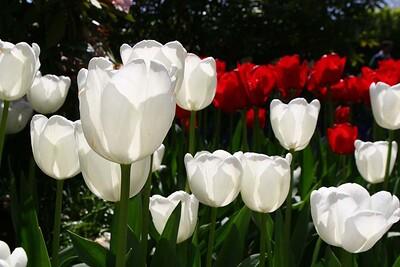 Tulips2006_0035
