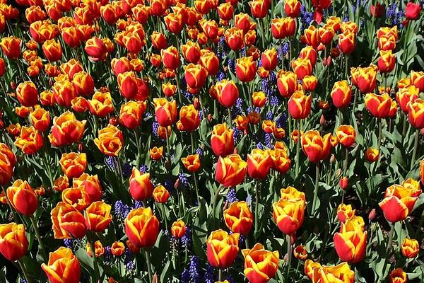 Tulips2006_0003